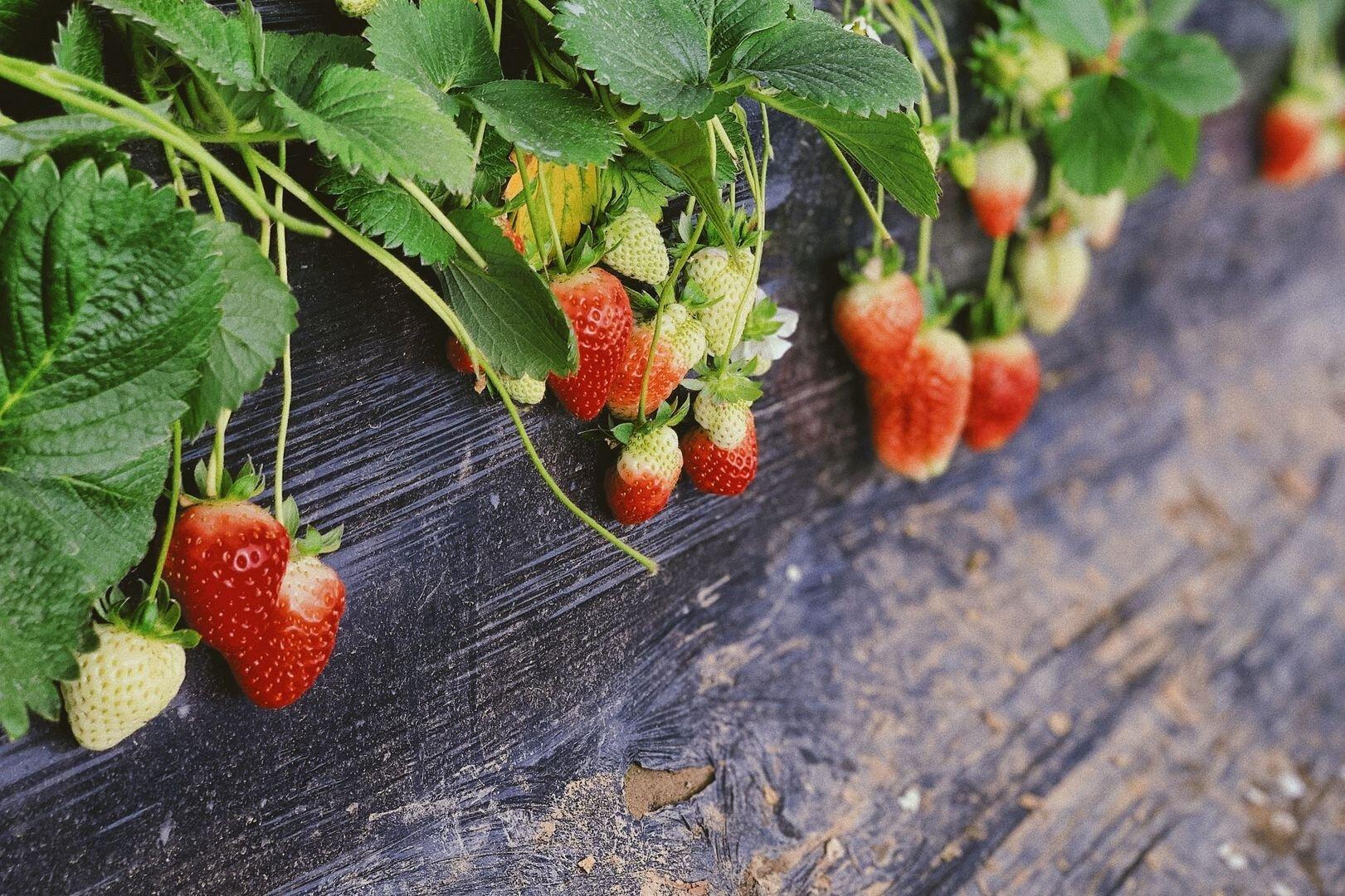 Aardbeien Immo Makelaar Hoogstraten